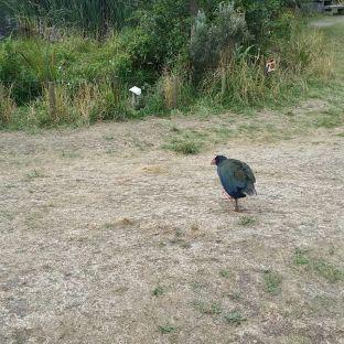 oiseau Takahe, à Zelandia ,Wellington