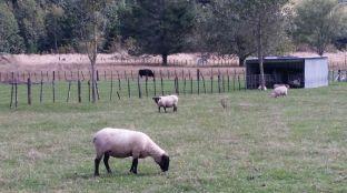 black and white sheep, Waikanae