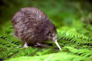 un kiwi, oiseau emblématique de la nouvelle Zélande